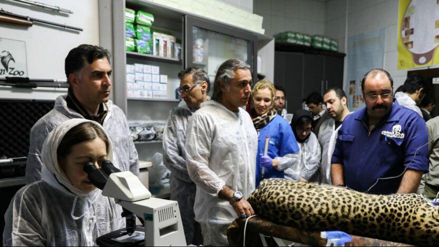 لقاح مصنوعی برای نجات پلنگ ایرانی
