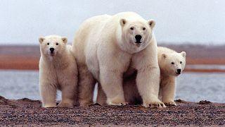 Белые медведи в канадском заповеднике