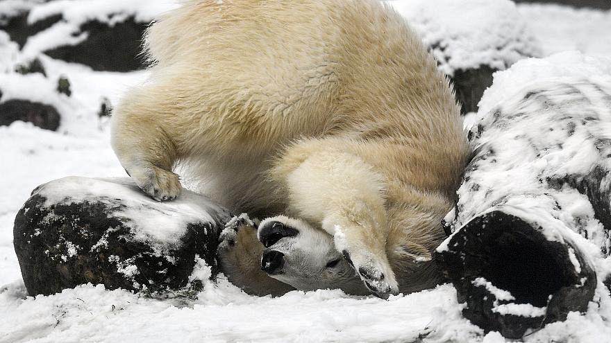 Rusya'da kutup ayıları yerleşim birimlerine girince olağanüstü hal ilan edildi