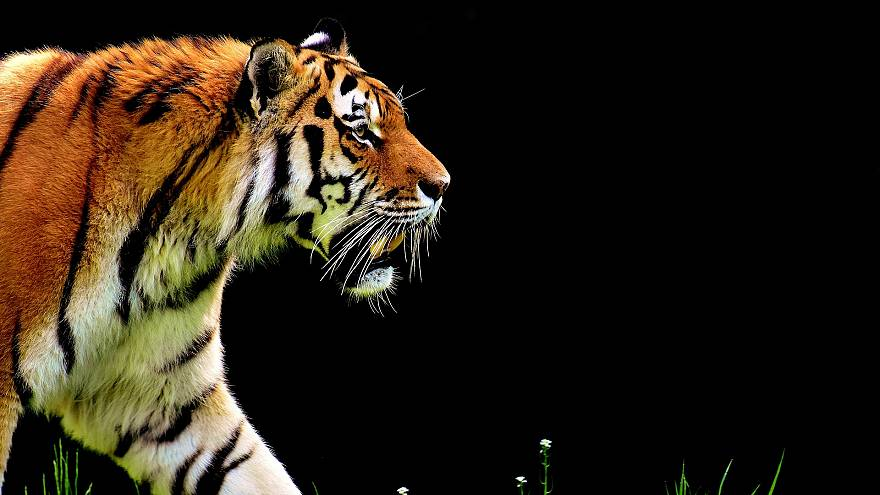Schock im Zoo: Tigerin Melati totgebissen