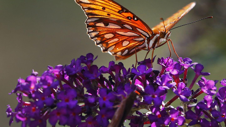 Ученые бьют тревогу: Наши потомки могут не увидеть бабочек