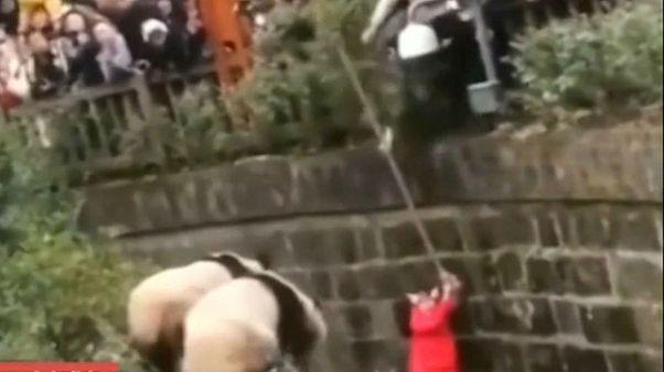 Küçük kız pandaların bulunduğu dev kafese düştü
