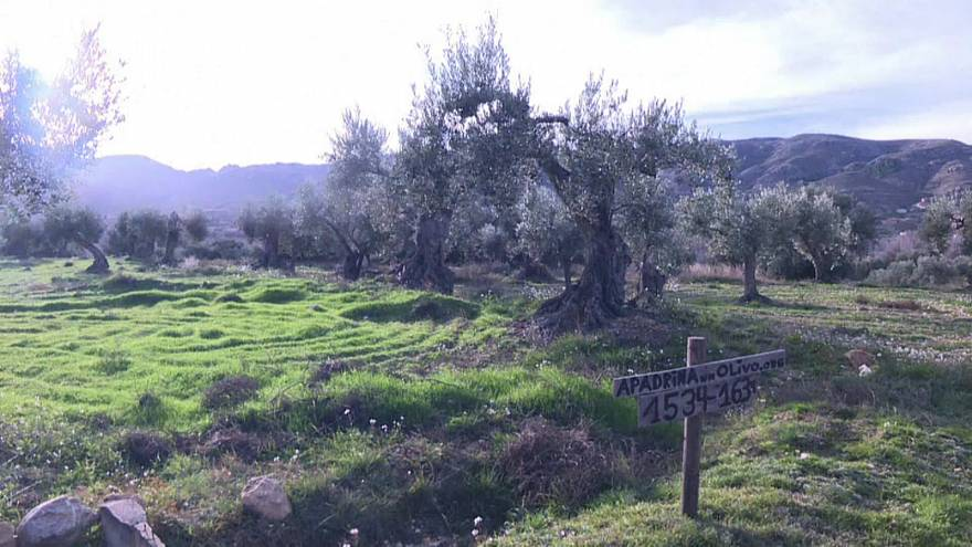 The scheme to adopt olive trees has saved more than 7,000 trees