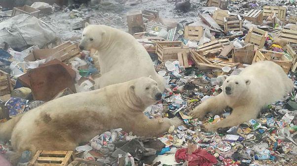 Watch: Polar bear in Russian archipelago peeks inside a house
