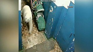 Πολικές αρκούδες κατέβηκαν σε χωριό - Η Μόσχα στέλνει ειδικούς επιστήμονες