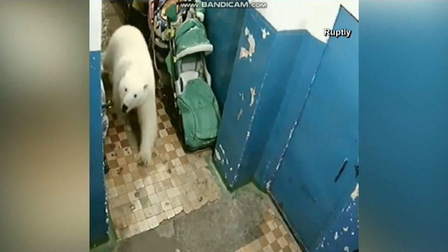 Szükségállapotot hirdettek egy orosz településen a jegesmedvék miatt