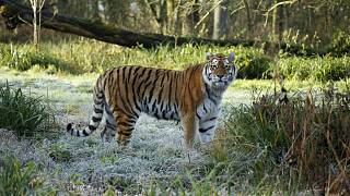 Second endangered tiger killed in a week in UK captivity