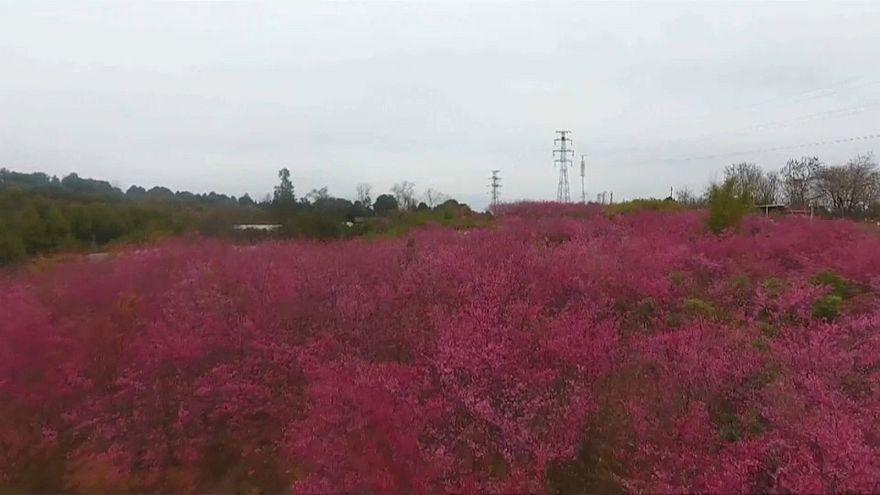 شکوفههای گیلاس و دریایی از رنگ در شرق چین