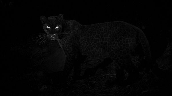 پلنگ سیاه پس از یک قرن شکار دوربین شد
