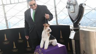شاهد.. كينغ يربح جائزة أفضل كلب في مسابقة ويستمنستر
