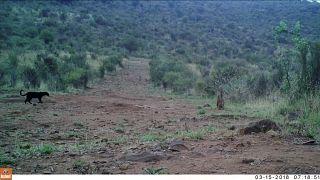 الفهد الإفريقي الأسود شوهد في لوروك بمقاطعة لايكيبيا في كينيا، شباط 2019