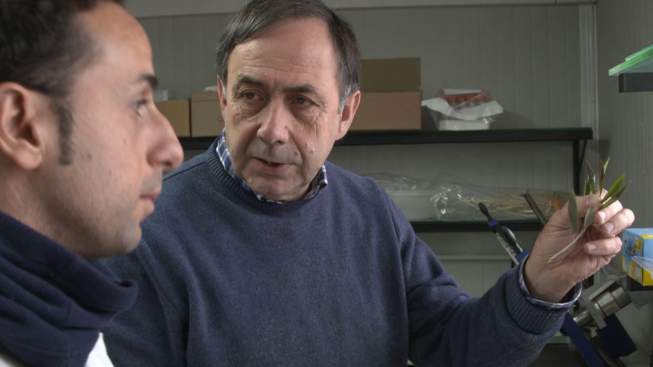 Xylella Fastidiosa, a bactéria que está a mudar o sul de Itália