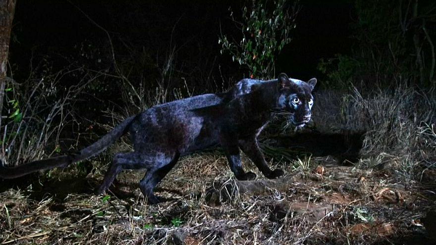 Un léopard noir, photographié au Kenya.