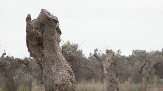 Бактерия-убийца иссушает деревья на юге Италии
