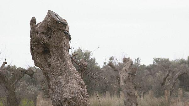 Xylella Fastidiosa: Το μικρόβιο που χτυπά τα ελαιόδεντρα στην Νότια Ιταλία