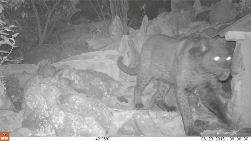 Kenya'da 100 yıl sonra 'kara leopar' görüntülendi