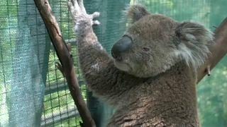 الصندوق العالمي للحياة البرية يحذر أستراليا من قرب انقراض الكوالا