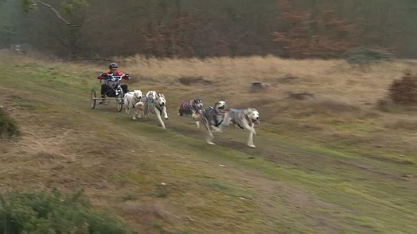 شاهد: بريطانيا تحتضن منافسة الكلاب السيبيرية