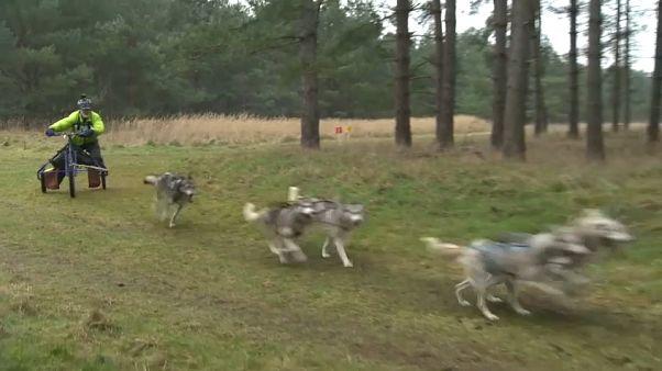 Sibirya kurtlarının, İngiltere'deki geleneksel yarışları yine nefes kesiyor