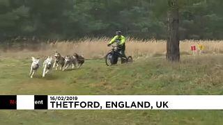 Szánhúzó kutyák versenye Nagy-Britanniában