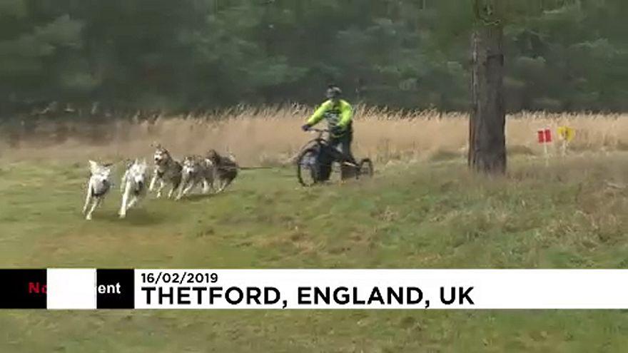 Huskys rennen durch britischen Matsch