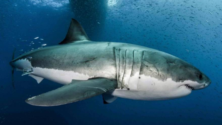 Η αποκωδικοποίηση του γονιδιώματος του Λευκού Καρχαρία, όπλο στη μάχη κατά του καρκίνου