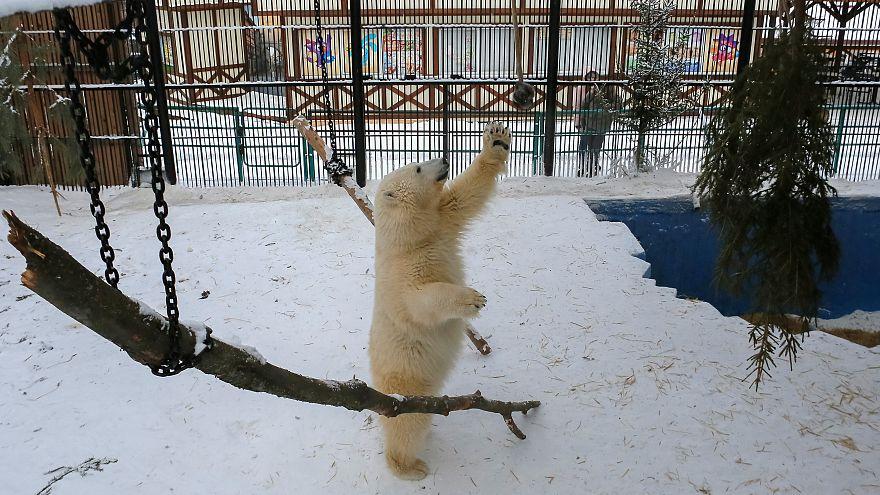 Άρση της κατάστασης έκτακτης ανάγκης για τις πολικές αρκούδες