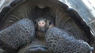 Tartaruga julgada extinta encontrada viva nas Galápagos