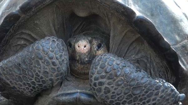 Galapagos : découverte rare d'une tortue que l'on pensait disparue