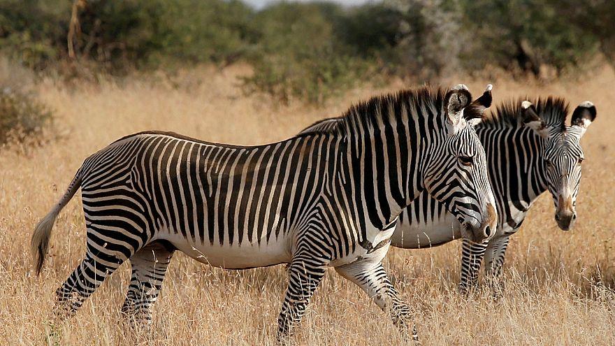 Rájöttek, hogy miért csíkosak a zebrák