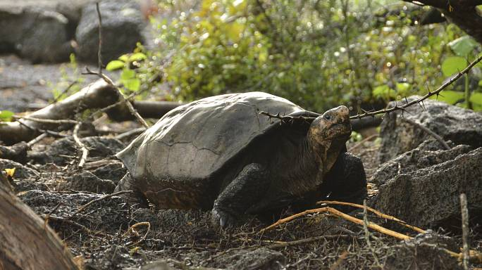 Giant tortoise thought to be extinct discovered in Galapagos