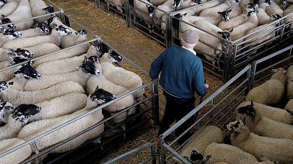Σαρδηνία: Αγρότες στα πρόθυρα οικονομικής εξαθλίωσης