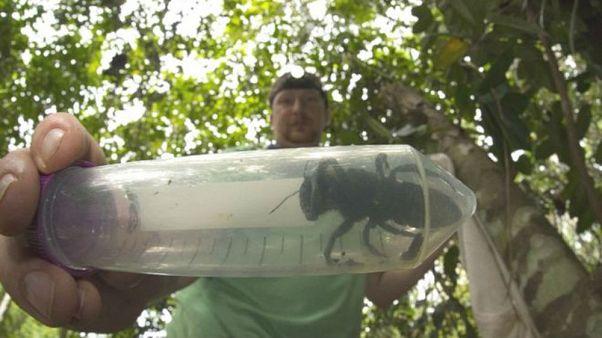 Nesli tükendi zannedilen dünyanın en büyük arısı 40 yıl sonra yeniden bulundu