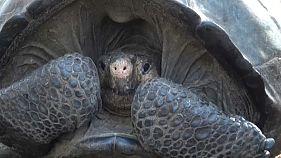 Nesli tükendi sanılan dev kaplumbağa 100 yıl sonra tekrar ortaya çıktı