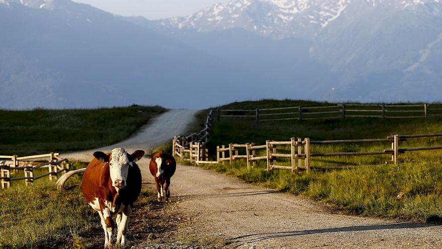 Gericht fordert nach tödlicher Kuh-Attacke in Tirol Schadenersatz für Hinterbliebene