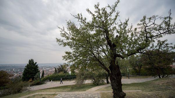 Európa fája lehet idén a pécsi mandulafa