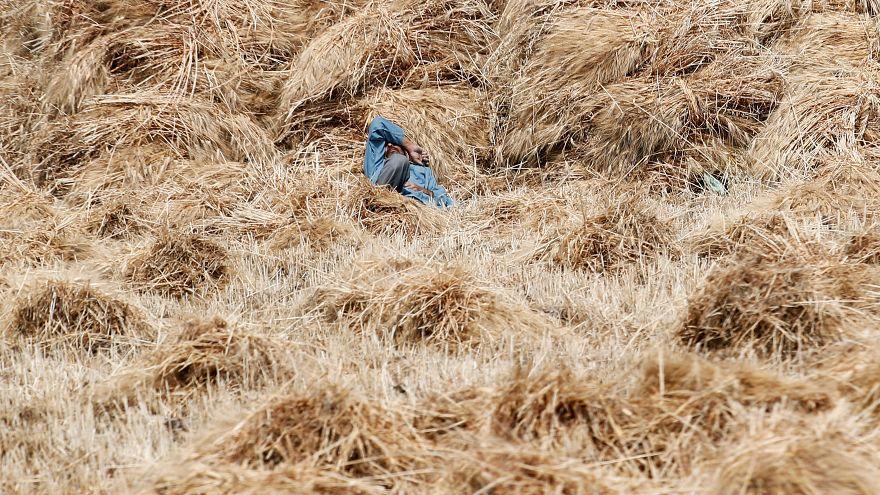 مزارع يرقد وسط كميات من القمح في مصر