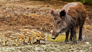 Angst vor der Afrikanischen Schweinepest: Usedom baut zum Schutz Elektrozaun