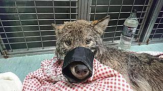 عمال ينقذون كلباً من بحيرة متجمدة ليكتشفوا لاحقاً أنه ذئب!