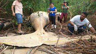 Denizden 15 metre uzakta Amazon ormanlarında 10 tonluk balina bulundu