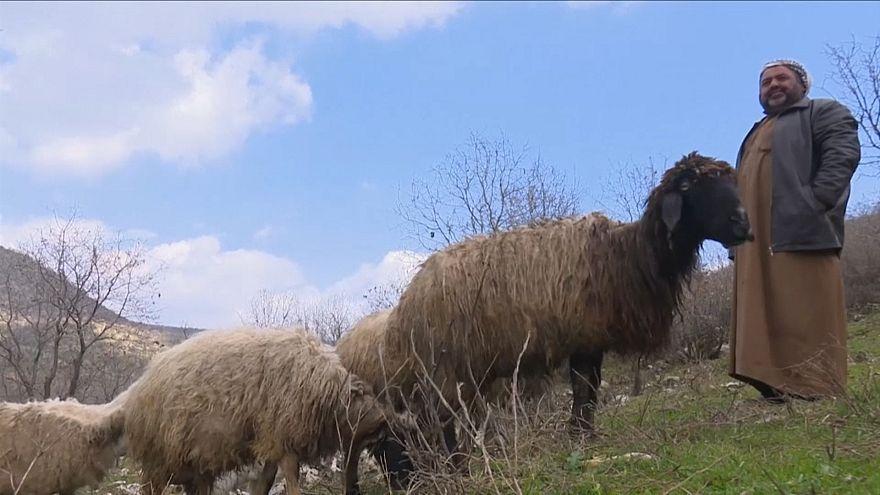Irak'ta çobanlarla sürüleri meralara geri döndü