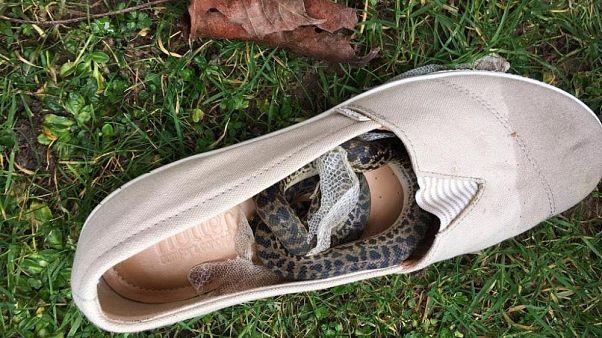 الثعبان حيث كان يختبئ في فردة الحذاء