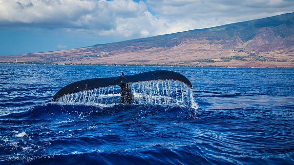 Mavi balinaların göç rotasını hafızaları çiziyor