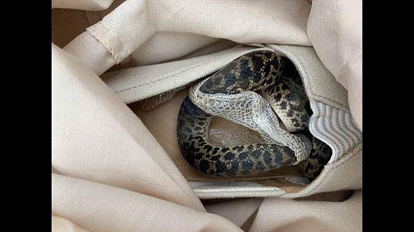 Ayakkabıya gizlenen piton yılanı havada 15 bin kilometre yol yaptı
