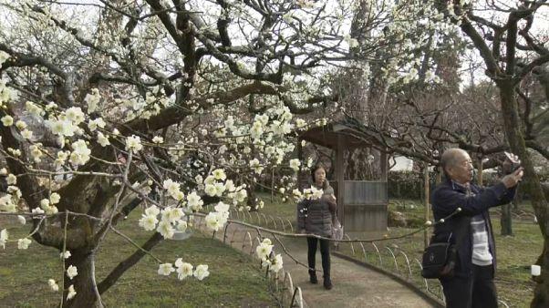 Japan celebrates plum blossom festival at Kyoto shrine