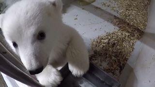 Le zoo de Berlin dévoile les images d'un ourson polaire de 12 semaines