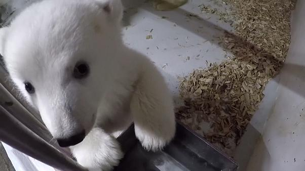 Íme, a berlini állatkert jegesmedvebocsa!