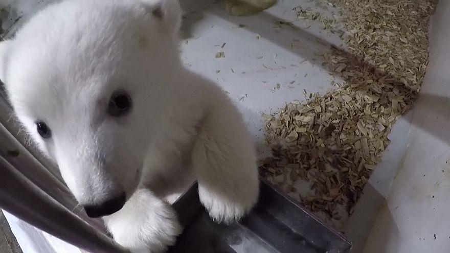 Berlin Hayvanat Bahçesi 12 hafta önce doğan kutup ayısının ilk görüntülerini yayınladı
