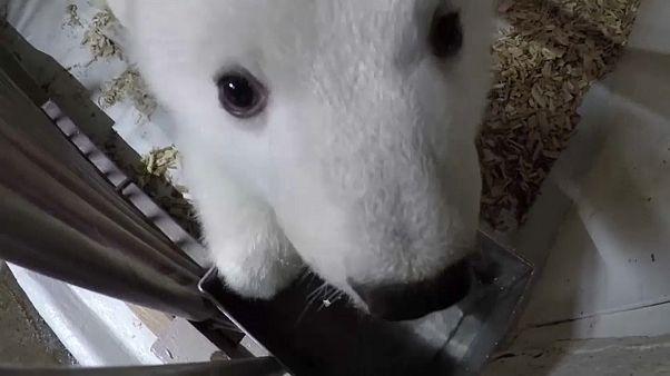 12 Wochen altes Eisbärenmädchen im Zoo Berlin