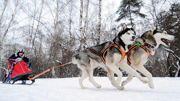 Video: Kamçatka'da kıran kırana kızaklı köpek yarışması